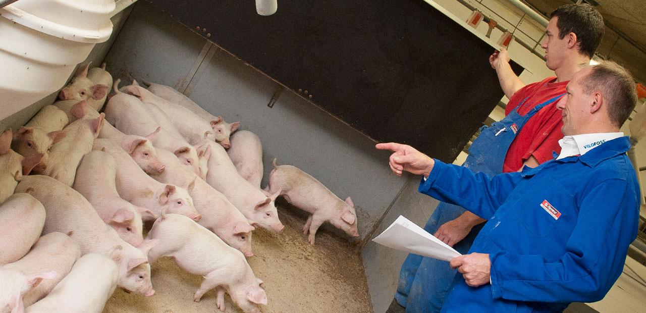 Service Pigs - Vilofoss